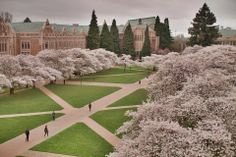 UW Cherry Blossoms | Spring 2014 (Photo by Tuan Nguyen)