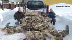 Wisconsin Wolf Hunting Season: Stop The Wolf Hunt.  STOP IT!!! This is disgusting!!!!!!