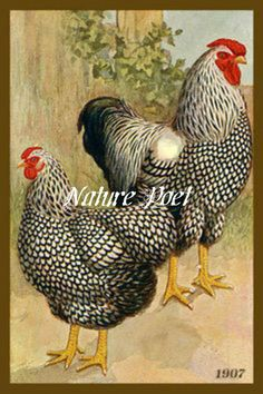 Plymouth Rock Barred Chickens 1907 Fowl Illustration Reproduction Print Downloadable, Printable, Digital Art Image - Instant Download    This antique