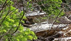 New wolf pups in the Rogue River-Siskyou National Forest in southern Oregon