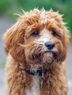 Poodle Mix Breeds, Dog Breeds, Cute Little Puppies, Cute Dogs, Cavapoo Dogs, Dog Mixes, Happy Puppy, King Charles Spaniel, Mixed Breed