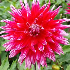 Grand Finale Dahlia:  Here it is: the show-stopping beauty of your garden, the focal point of indoor arrangements, and the hardest-working dahlia you will ever grow. Grand Finale is a semi-cactus variety with long, tightly-packed, quilled petals of burgundy-purple, lightening at the tips. The flowers are nearly a foot wide, and they arise far, far more abundantly on this big bushy plant than you would believe possible. You're in for a treat when you plant Grand Finale!