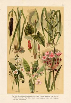 Antique Botanical Print-BULRUSH-BUR REED-ARROWHEAD-1890 ie.picclick.com