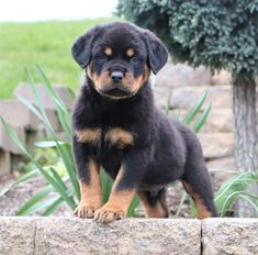 Rottweiler puppies for sale! Lancaster Puppies has your Rottweiler puppy. Browse our selection of Rottweiler breeders and bring home your new puppy. Baby Rottweiler, Rottweiler Breeders, Rottweiler Puppies For Sale, Australian Shepherds, West Highland Terrier, Scottish Terrier, Husky, Puppy Quotes, Really Cute Puppies