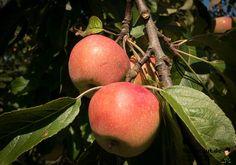Äpfel richtig lagern: Apfel gibt Reifegas ab - Tippscout.de
