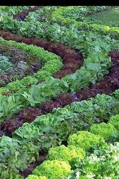 Lettuce landscape...
