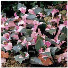 Tradescantia Blushing Bride Plant
