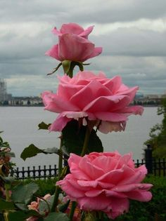 Good Morning Roses, Morning Flowers, Romantic Roses, Beautiful Roses, Flowers For You, Pretty Flowers, Beautiful Nature Pictures, Trees To Plant, Pink Color