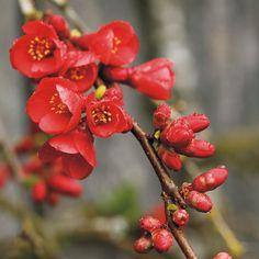 Flowering quince  Chaenomeles spp.