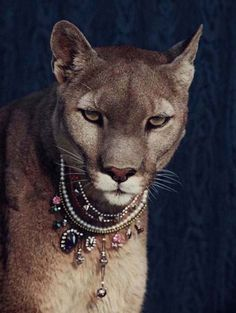 I'll have a pet mountain lion adorned with jewels in my dream house Beautiful Cats, Animals Beautiful, Cute Animals, Wild Animals, I Love Cats, Cute Cats, Image Nature, Mountain Lion, All Gods Creatures
