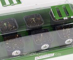 Fast Germinating Cannabis Seeds