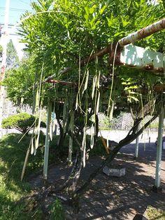 Peas of wisteria (Wisteria floribunda). Not edible, but bird and animals may eat. 藤の実。マメです。食べられません。でも小学校でニワトリにやったら、食ったなあ。