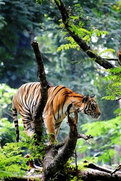 Tiger in the Jungle | by: { Ma Poupoule }