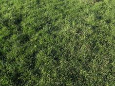 Does your grass look like this? If it does, you need to apply a weed killer! Shops, Photoshop, Lawn Care, Wall Murals, Weed, Grass, Plants, Oklahoma, Gardening