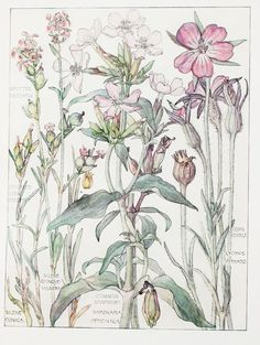 Pink Family Botanical Print, by Harriet Isabel Adams Vintage Botanical Prints, Botanical Drawings, Botanical Illustration, Illustration Art, Botanical Flowers, Botanical Art, British Flowers, Decoupage, Garden Drawing