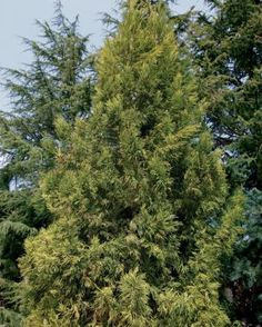Fast-Growing Trees for Impatient Gardeners - FineGardening japanese cedar cryptomeria japonica Cedar Trees, Evergreen Trees, Trees And Shrubs, Cypress Trees, Privacy Landscaping, Country Landscaping, Landscaping With Rocks, Privacy Trees, Screen Plants