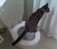 some tips for getting your cat to use the toilet, if you'd like to teach him.