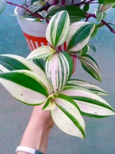"Wandering Jew variegated Tradescantia fluminensis laekenensis Rainbow plant 3"" in Home & Garden, Yard, Garden & Outdoor Living, Plants, Seeds & Bulbs, Plants & Seedlings, Houseplants 