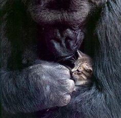 Koko with Peanut - Primates Photo (7909607) - Fanpop
