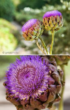 blooming artichokes by girkephoto