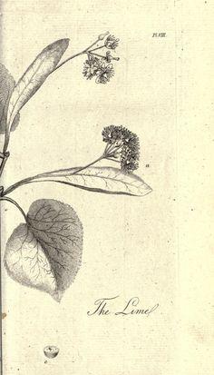 Pencil drawing of blue grama grass tattoo inspiration for Botanical tattoo london