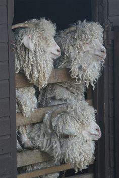 Sheep Centre, Sussex, England