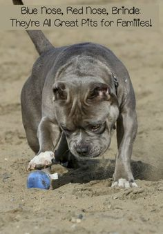 Pupy Training Treats - These training games will help you forge a strong bond with your Pitbull. Training games for your Pitbull are a fun way to promote responsive listening. Check them out! - How to train a puppy? Pitbull Training, Basic Dog Training, Puppy Training Tips, Training Schedule, Training Dogs, Training Classes, Pitbulls, Blue Nose Pitbull, Pitbull Husky