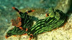 Variable Neon Slug/Nudibranch Nembrotha Kurbayana