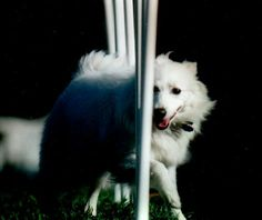 Unusual Tips for the Beginning Agility Competitor: What the Rookie Handler Should Know