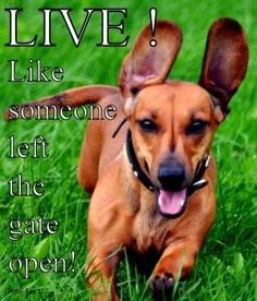 Reminds me of my dachshund Dachshund Art, Daschund, Winnie Dogs, Funny Animals, Cute Animals, Beautiful Dogs, Beautiful Things, Little Dogs, Spirit Animal