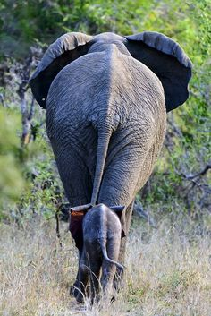 Another sort of Silverback photo; wildlife pic of great silver-grey African Elephant. Elephants Never Forget, Save The Elephants, Baby Elephants, Baby Animals Pictures, Cute Baby Animals, African Elephant, African Animals, Beautiful Creatures, Animals Beautiful
