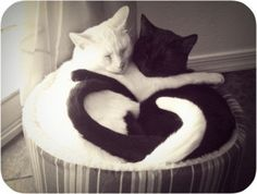 Yin Yang Cats! Yin yang describes two primal opposing but complementary forces found in all things in the universe. Yin, the darker element, is passive, dark, feminine, downward-seeking, and corresponds to the night; yang, the brighter element, is active, light, masculine, upward-seeking and corresponds to the day; yin is often symbolized by water, while yang is symbolized by fire.