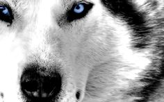 Image on FunMozar  http://funmozar.com/wp-content/uploads/2014/10/White-Wolf-Wallpaper-With-Blue-Eyes-03.jpg