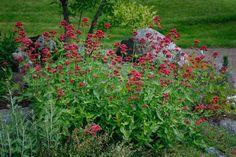 Centranthus ruber, pipört