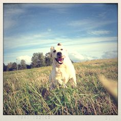 Golden retriever puppy Lenny 7 months at country side. Picture: Jonna Nurminen