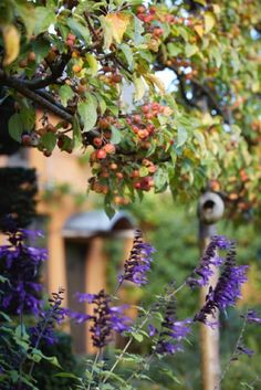 Salvias with overhanging espaliered crab apples. Allt-y-bela autumn 2015. photo Britt Willoughby Dyer