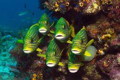 Goldstreifen-Süsslippen (Plectorhinchus polytaenia) in Reih und Glied vor einem Korallenriff in Indonesien