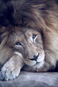 I want this lion to cuddle with hehehe