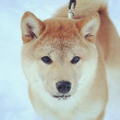 おはようなう!(笑)#shiba #shibainu #dog #柴犬 #柴 #shibastagram