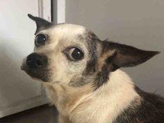 Chihuahua dog for Adoption in Sacramento, CA. ADN-634050 on PuppyFinder.com Gender: Female. Age: Senior