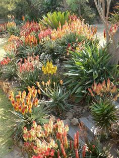 The dazzle of fiery candles shown on this page comes courtesy of modern hybrid aloes. These plants are a great way to add colour to the winter garden. Drought Resistant Plants, Drought Tolerant Garden, Dry Garden, Garden Plants, Mexican Garden, Australian Native Garden, Growing Gardens, Sloped Garden, Landscaping Plants