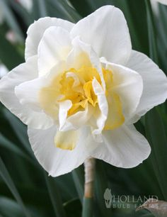 /\ /\ . Narcissus 'White Lion' (Double daffodil)