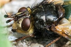 Portrait einer Fliege - Portrait of an fly
