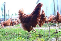 Libere di #razzolare all'aperto! Le nostre #galline sono controllate quotidianamente da uno staff di veterinari!
