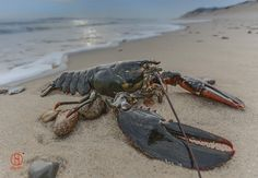 Giant Lobster On Cape Cod Beach - Wellfleet Wildlife © Dapixara