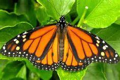 monarch butterflies - Bing Images