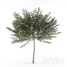 Salix integra 'Hakuro Nishiki' (on trunks) / Salix integra 'Hakuro Nishiki' (stem)