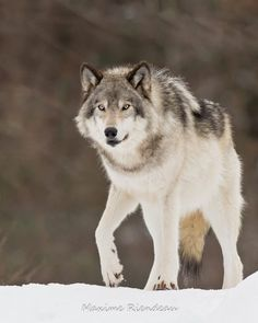 Wolf by Maxime Riendeau on 500px