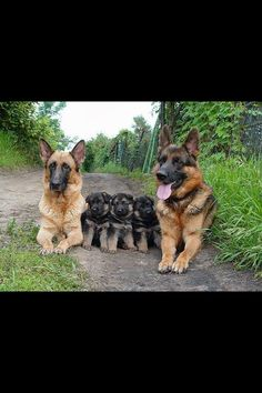 German Shepard dogs with their puppies