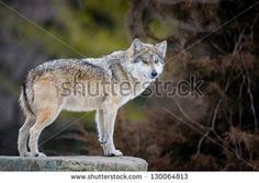 Find Mexican Gray Wolf Canis Lupus Standing stock images in HD and millions of other royalty-free stock photos, illustrations and vectors in the Shutterstock collection. Southern New Mexico, Timber Wolf, Canvas Designs, Stretched Canvas Prints, Mans Best Friend, Predator, Husky, Photo Editing, Wildlife